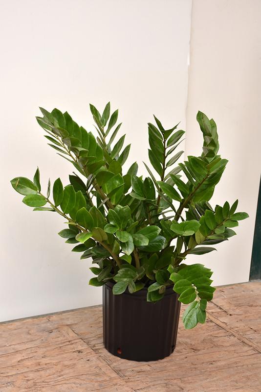 ZZ Plant (Zamioculcas zamiifolia) at DeWayne's