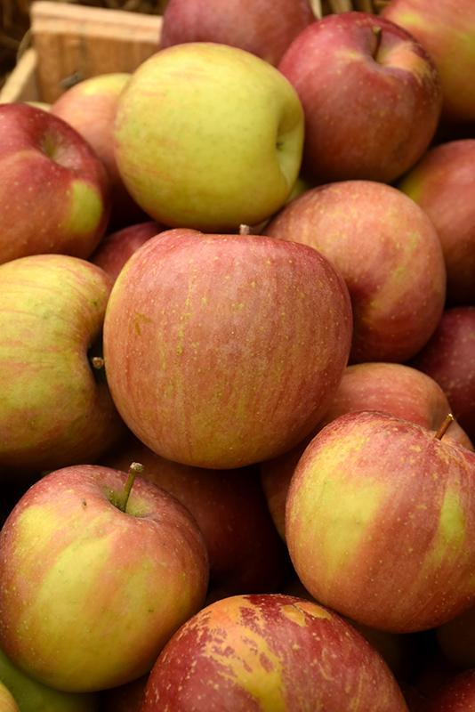 Fuji Apple (Malus 'Fuji') at DeWayne's