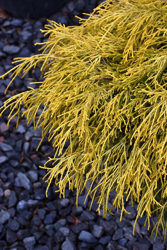 Golden Charm Falsecypress (Chamaecyparis pisifera 'Golden Charm') at DeWayne's