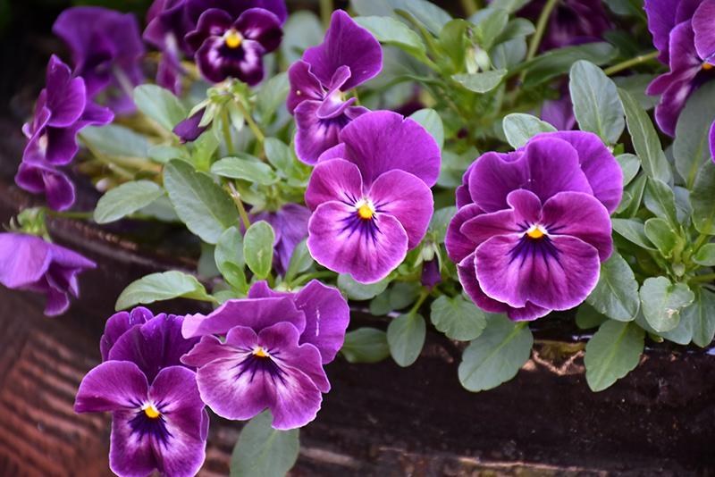 Cool Wave Raspberry Pansy (Viola x wittrockiana 'PAS1196270') at DeWayne's