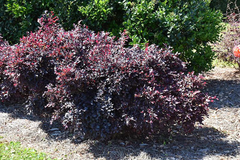 Purple Daydream Fringeflower (Loropetalum chinense 'PPI') at DeWayne's