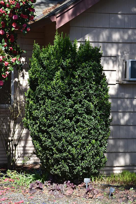Green Spire Euonymus (Euonymus japonicus 'Green Spire') at DeWayne's