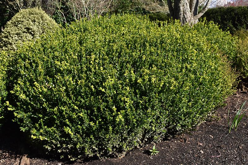 Green Beauty Boxwood (Buxus 'Green Beauty') at DeWayne's