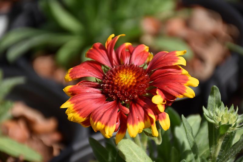 Spintop Orange Halo Blanket Flower (Gaillardia aristata 'Spintop Orange Halo') at DeWayne's