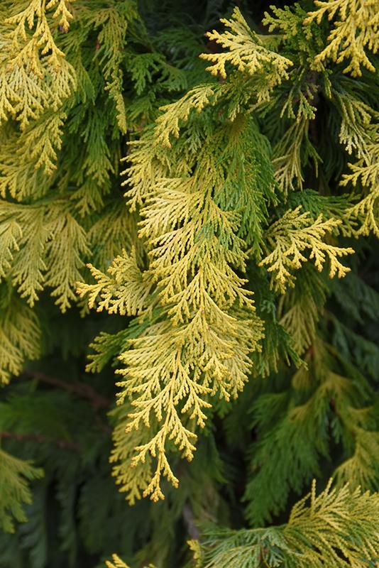 Cripps Gold Falsecypress (Chamaecyparis obtusa 'Crippsii') at DeWayne's