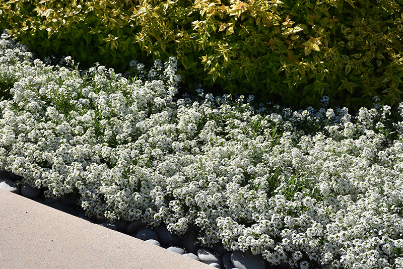 Snow Princess Alyssum (Lobularia 'Snow Princess') at DeWayne's