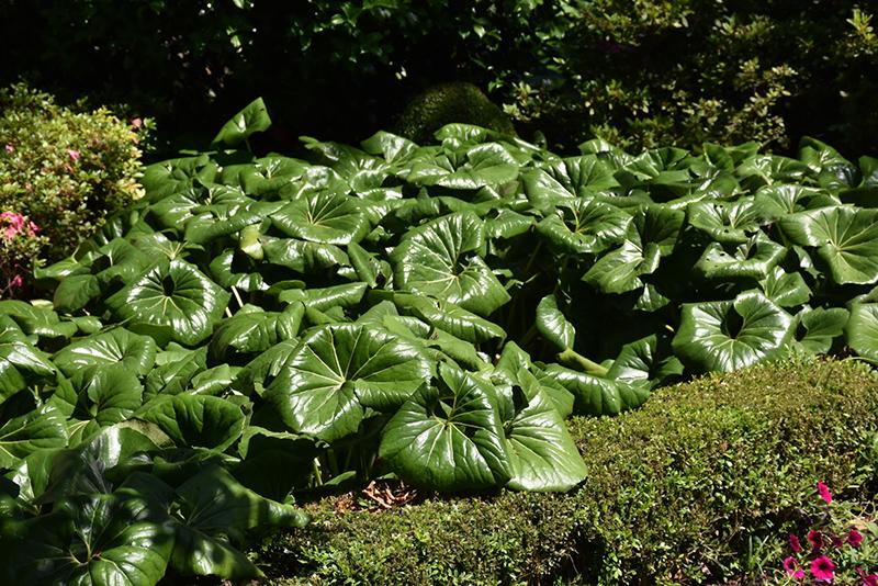 Giant Leopard Plant (Farfugium japonicum 'Giganteum') at DeWayne's