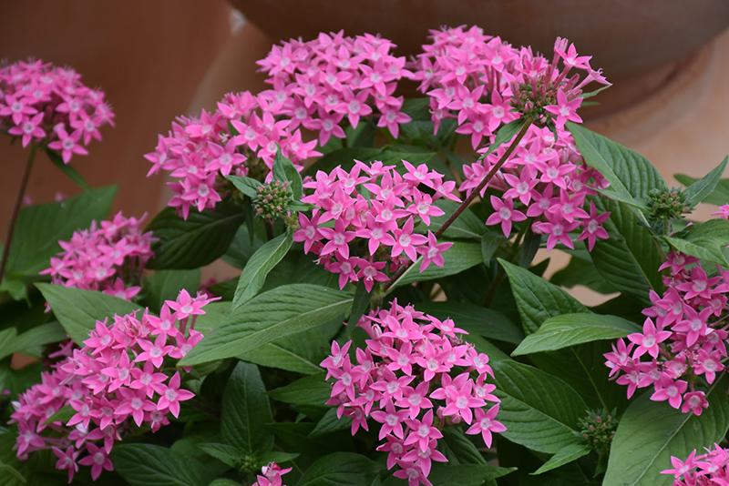 Butterfly Deep Pink Star Flower (Pentas lanceolata 'PAS2208') at DeWayne's