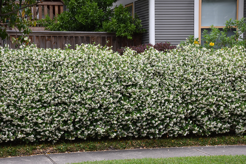 Confederate Star-Jasmine (Trachelospermum jasminoides) at DeWayne's