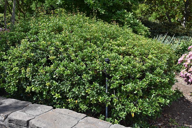 Gulftide False Holly (Osmanthus heterophyllus 'Gulftide') at DeWayne's