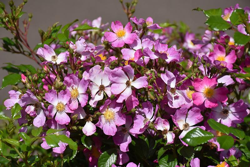 Oso Easy Fragrant Spreader Rose (Rosa 'Chewground') at DeWayne's