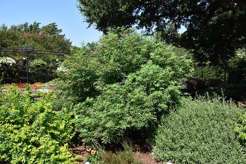 Delta Blues Chaste Tree (Vitex agnus-castus 'PIIVAC-I') at DeWayne's