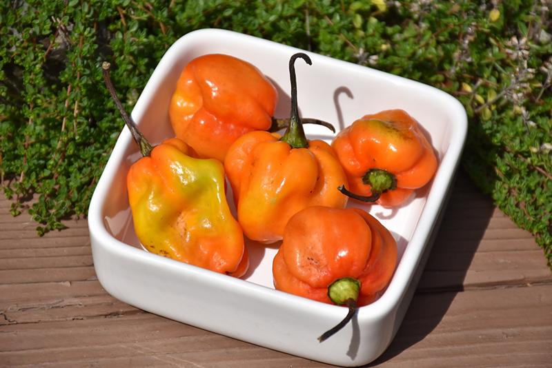 Habanero Orange Pepper (Capsicum chinense 'Habanero Orange') at DeWayne's