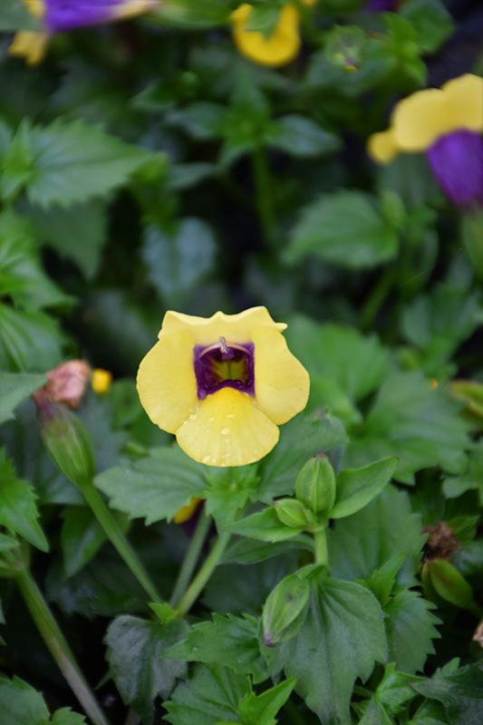 Catalina Gilded Grape Torenia (Torenia 'Catalina Gilded Grape') at DeWayne's