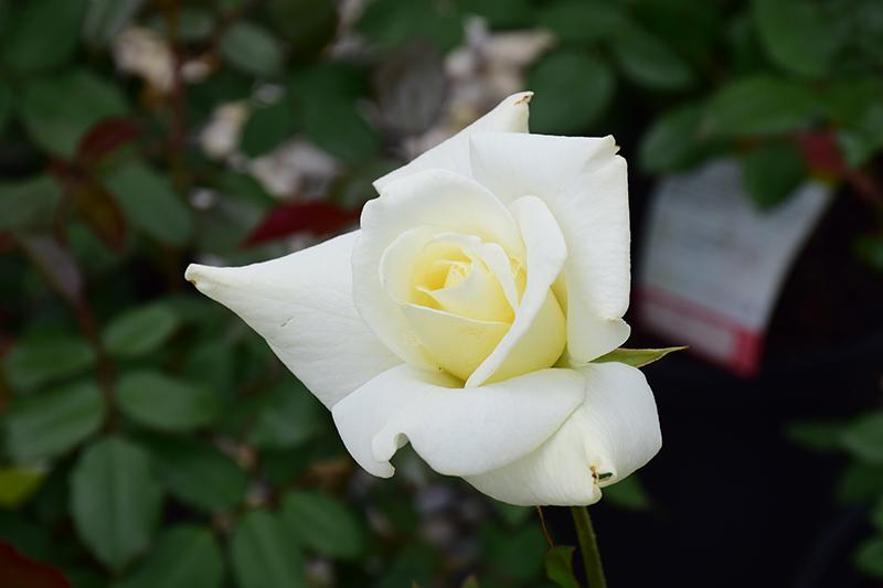 John F. Kennedy Rose (Rosa 'JFK') at DeWayne's