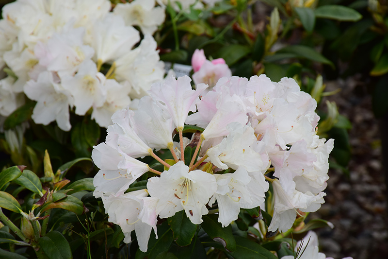 Yaku Princess Rhododendron (Rhododendron yakushimanum 'Yaku Princess') at DeWayne's