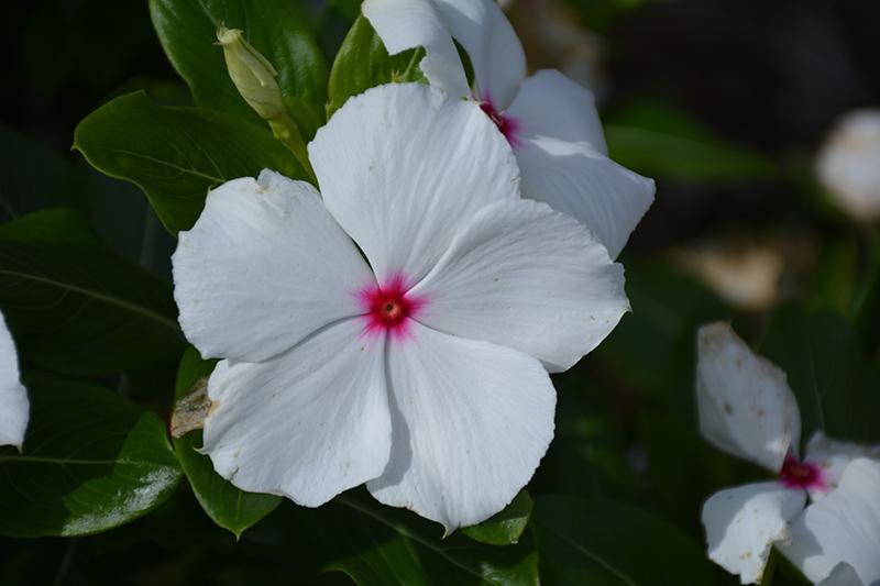 Cora XDR Polka Dot (Catharanthus roseus 'Cora XDR Polka Dot') at DeWayne's