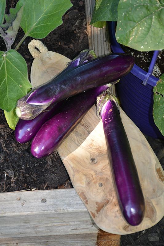 Millionaire Eggplant (Solanum melongena 'Millionaire') at DeWayne's