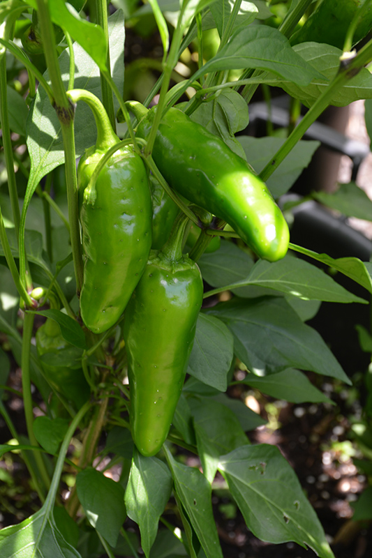 Jalapeno M Hot Pepper (Capsicum annuum 'Jalapeno M') at DeWayne's