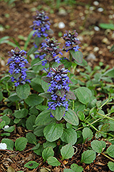 Caitlin's Giant Bugleweed (Ajuga reptans 'Caitlin's Giant') at DeWayne's