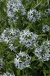 Blue Star Flower (Amsonia tabernaemontana) at DeWayne's