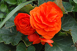 Nonstop® Golden Orange Begonia (Begonia 'Nonstop Golden Orange') at DeWayne's