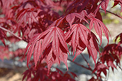 Nuresagi Japanese Maple (Acer palmatum 'Nuresagi') at DeWayne's
