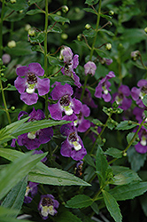 Archangel™ Purple Angelonia (Angelonia angustifolia 'Archangel Purple') at DeWayne's