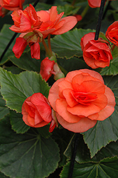 Solenia® Orange Begonia (Begonia 'Solenia Orange') at DeWayne's