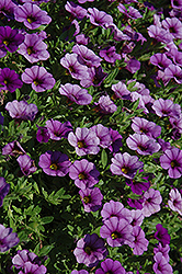 Cabaret® Dark Blue Calibrachoa (Calibrachoa 'Cabaret Dark Blue') at DeWayne's