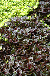 Black Scallop Bugleweed (Ajuga reptans 'Black Scallop') at DeWayne's