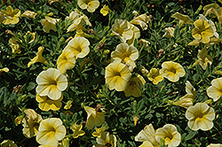 Million Bells® Bouquet Yellow Calibrachoa (Calibrachoa 'Million Bells Bouquet Yellow') at DeWayne's