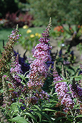 Buzz™ Violet Butterfly Bush (Buddleia davidii 'Tobudviole') at DeWayne's