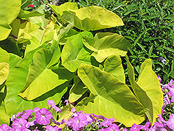 Royal Hawaiian® Maui Gold Elephant Ear (Colocasia esculenta 'Maui Gold') at DeWayne's