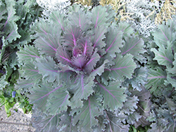 Nagoya Purple Kale (Brassica oleracea 'Nagoya Purple') at DeWayne's