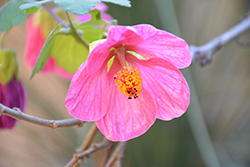 Pink Flowering Maple (Abutilon 'Pink') at DeWayne's