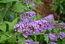 Lo And Behold® Blue Chip Dwarf Butterfly Bush (Buddleia 'Lo And Behold Blue Chip') at DeWayne's