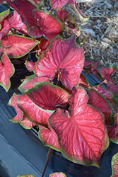 Red Glamour Caladium (Caladium 'Red Glamour') at DeWayne's