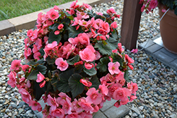 Solenia® Light Pink Begonia (Begonia 'Solenia Light Pink') at DeWayne's