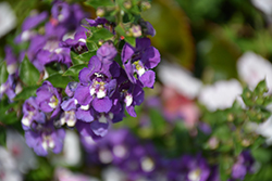 Angelface® Super Blue Angelonia (Angelonia angustifolia 'Angelface Super Blue') at DeWayne's