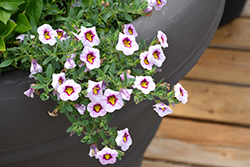 Superbells® Morning Star™ Calibrachoa (Calibrachoa 'BBCAL27801') at DeWayne's