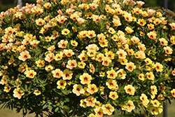Million Bells® Mounding Tropical Delight Calibrachoa (Calibrachoa 'Million Bells Mounding Tropical Delight') at DeWayne's