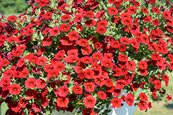 Million Bells® Mounding Compact Deep Red Calibrachoa (Calibrachoa 'Million Bells Mounding Compact Deep Red') at DeWayne's