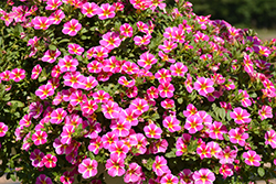 Superbells® Rising Star™ Calibrachoa (Calibrachoa 'KLECA16006') at DeWayne's