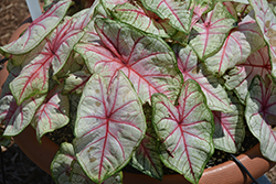 Summer Breeze Caladium (Caladium 'Summer Breeze') at DeWayne's