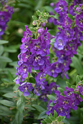 Angelface® Blue Angelonia (Angelonia angustifolia 'Angelface Blue') at DeWayne's