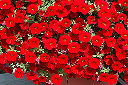Cabaret® Bright Red Calibrachoa (Calibrachoa 'Cabaret Bright Red') at DeWayne's