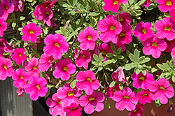 Million Bells® Bouquet Brilliant Red Calibrachoa (Calibrachoa 'Million Bells Bouquet Brilliant Red') at DeWayne's