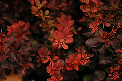 Sunjoy® Mini Salsa Japanese Barberry (Berberis thunbergii 'Mimi') at DeWayne's