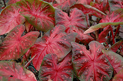 Red Flash Caladium (Caladium 'Red Flash') at DeWayne's